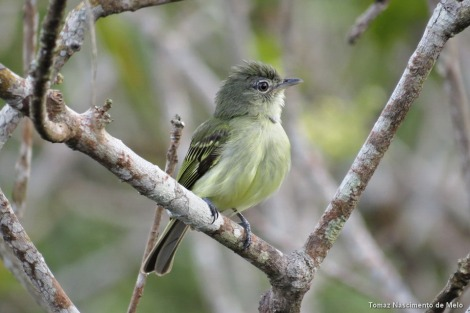 Bico-chato-da-copa (Tolmomyias assimilis) Yellow-margined Flycatcher